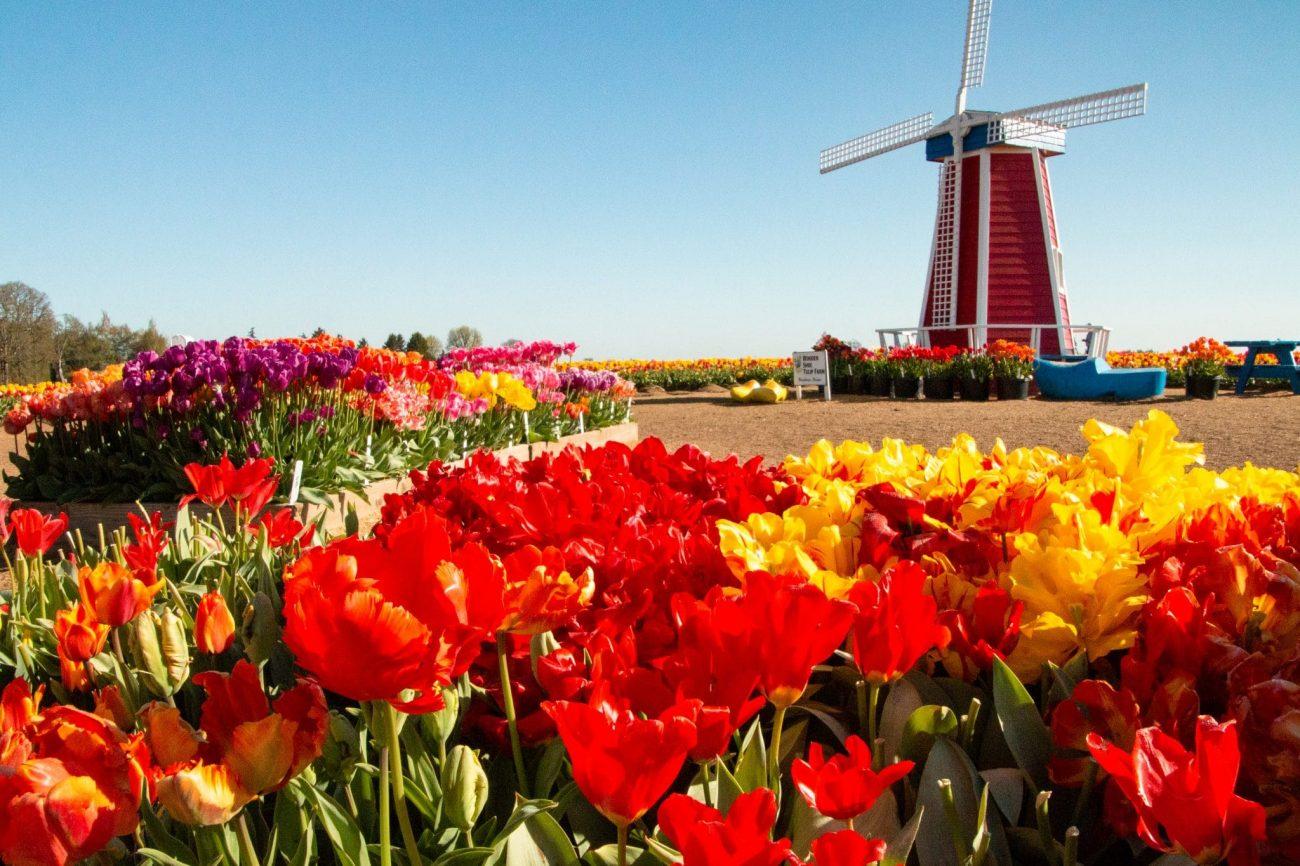 Oregon's Tulip Fest: Blooms, Brats & Wine